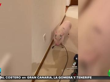 Graban a un cerdo desenchufando la aspiradora cada vez que su dueña la enciende