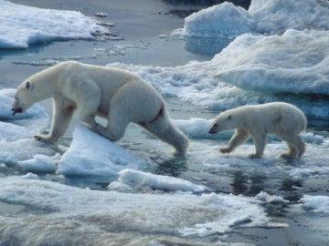 Osos polares en el Ártico