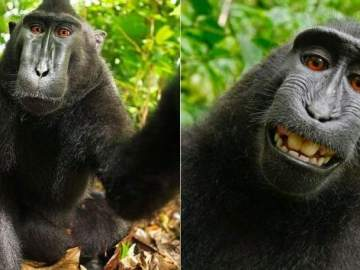 'Selfie' del mono 'Naruto'