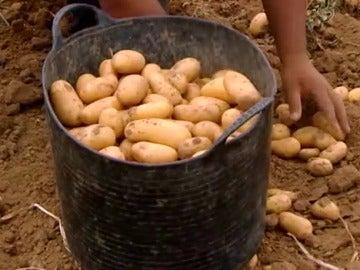 Recogida de patata en Sevilla