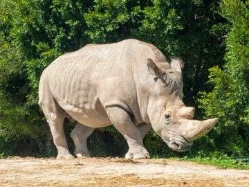 Un rinoceronte blanco del norte