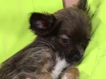 Cuidados específicos del cachorro chihuahua I Perros