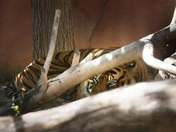 El tigre, aislado en el parque de Terra Natura
