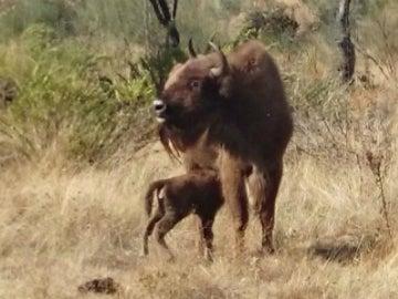 La cría de bisonte con su madre