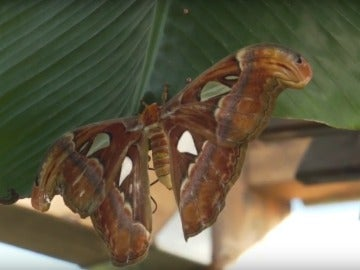 'Attacus Atlas', la mariposa más grande del mundo