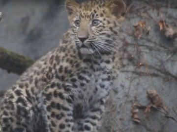 Cría de leopardo de Amur