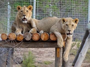 Dos de los grandes felinos que están bajo el cuidado de AAP Primadomus