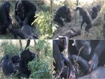 El sorprendente ritual de unos chimpancés antes de enterrar a un miembro de la manada