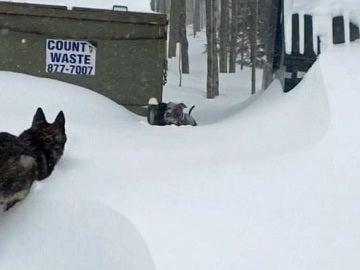 Así rescata un pastor alemán a un pitbull que quedó atrapado en la nieve