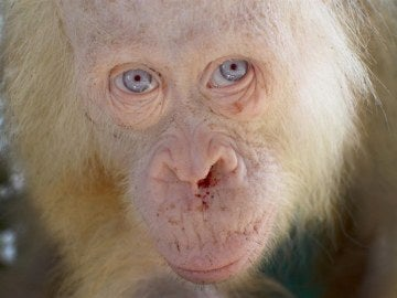 """Rescatan a una orangután albina """"extremadamente rara"""""""
