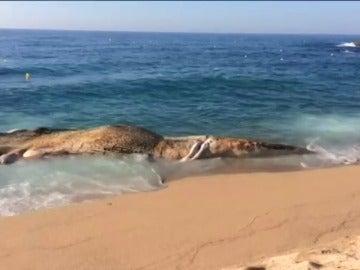 Frame 0.0 de: Aparece una ballena muerta en la playa de Lloret de Mar