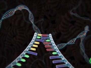 Eliminan de un embrión humano el gen que causa la muerte súbita