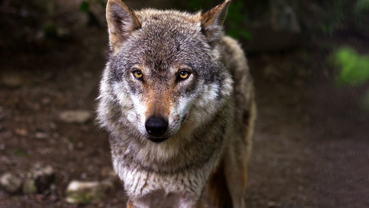 Imagen de archivo de un lobo ibérico