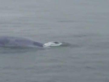 Confirman el histórico avistamiento de una ballena azul en las Rías Baixas