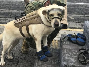 Frida, la perra rescatista del terremoto de México