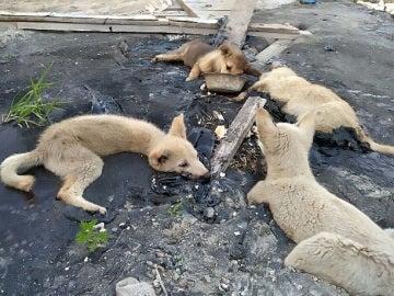 Cuatro perros atrapados en alquitrán