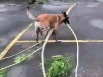 Nico, el perro que ayuda a recoger las ramas caidas tras el huracán María en Puerto Rico