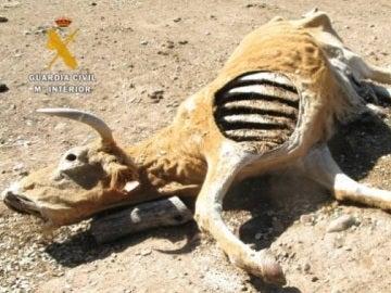 Una de las vacas muertas de inanición en San Muñoz (Salamanca)