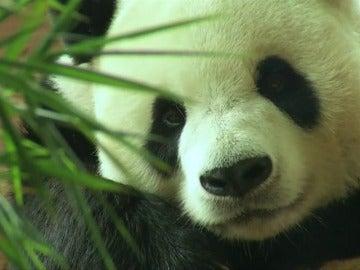 El zoo Taman Safari, nuevo hogar de varios pandas gigantes con un hábitat adecuado para su supervivencia