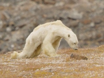 Un oso polar muere de hambre en la isla de Baffin, Canadá