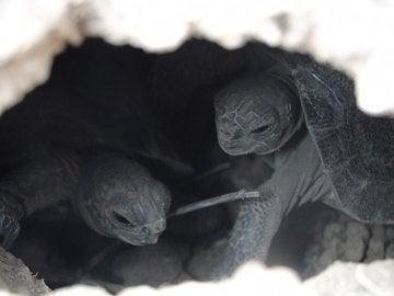 Dos tortugas de corta edad en la Isla Pinzón