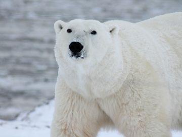 Foto de archivo de un oso polar