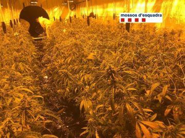Desmantelan una plantación de 900 plantas de marihuana en Barcelona
