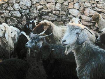 Cabras y ovejas compartieron caminos geneticos hacia la domesticacion
