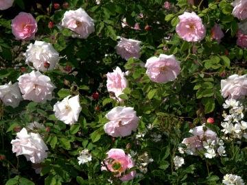 Imagen de archivo de rosas de mayo