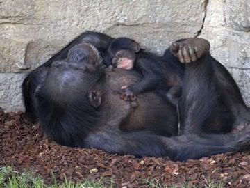 Cría de chimpancé recién nacida en el Bioparc de Valencia