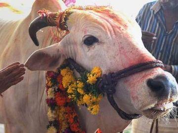 Las vacas son consideradas sagradas en la religión hindú