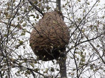 Imagen de archivo de un enjambre de avispas en Galicia