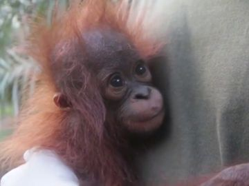 Encuentran y rescatan a un bebé orangután en la isla de Borneo