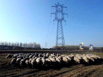 Un rebaño de ovejas pasa cerca de un poste de tendido eléctrico