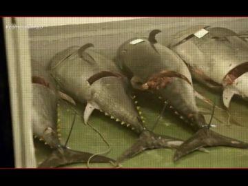 """¿Te lo vas a comer? accede a la nave ilegal de uno de los principales distribuidores de atún rojo del país: """"Las condiciones higiénicas son de vergüenza"""""""