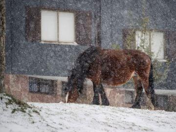 Un caballo pasta bajo la nieve caída en la localidad cántabra de Brañavieja