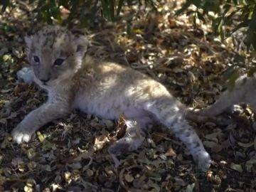 Una veterinaria española logra el primer nacimiento de dos leones con inseminación artificial