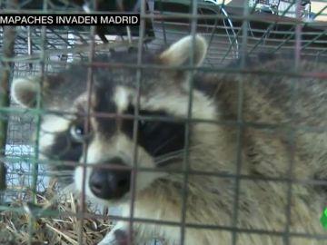 Así es la plaga de mapaches que invade Madrid