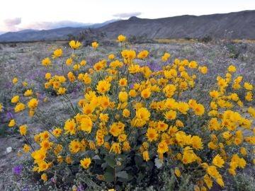 Manto temporal de flores silvestres en el Parque Estatal del Desierto de Anza-Borrego en el condado de San Diego, Californiav