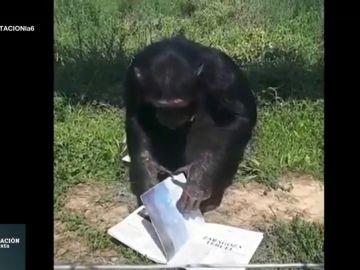 África y otros 17 chimpancés que han conseguido una oportunidad después de ser utilizados como actores o mascotas