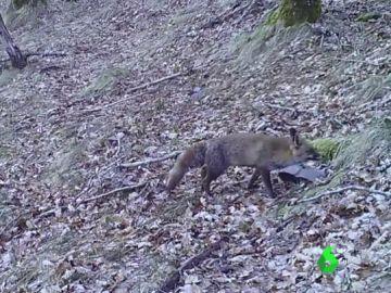 La fauna de la Sierra do Courel