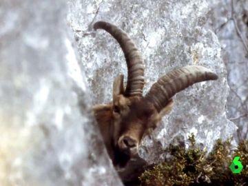 Imagen de archivo de un bucardo