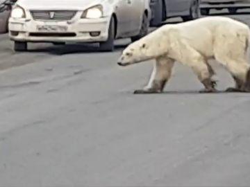 Captan a un oso polar hambriento vagando por las calles de una ciudad rusa en busca de comida