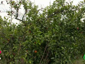 El futuro de las naranjas en España, en peligro por la importación de otros países a menor precio