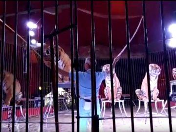 Ettore Weber en una actuación con cinco tigres