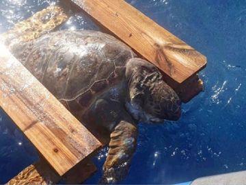 Imagen de la tortuga atrapada en un palé