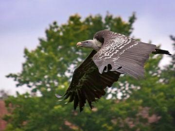 Buitre volando
