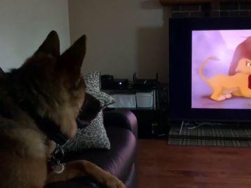 El pastor alemán Falco reaccionando a la muerte de Mufasa en 'El Rey León'