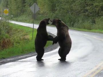 Una conductora graba una brutal pelea entre dos osos grizzli en una carretera