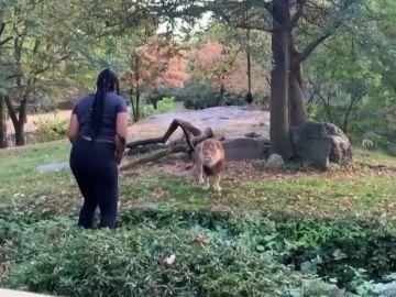 Una mujer se cuela en el hábitat de los leones del zoo y comienza a hacer muecas a un felino